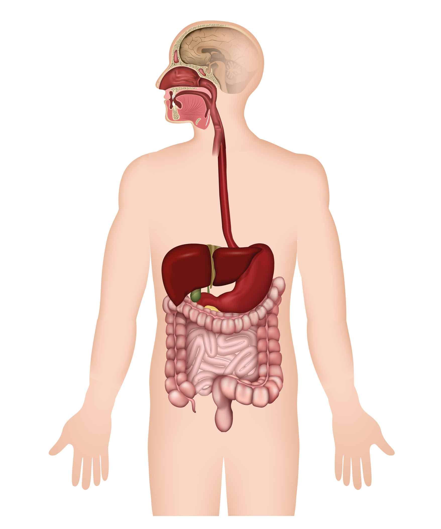 Erkrankungen des Magen-/ Darmtraktes Speiseröhre Magen Leber Galle ...
